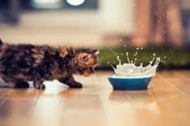 Susu Terbaik untuk Kucing