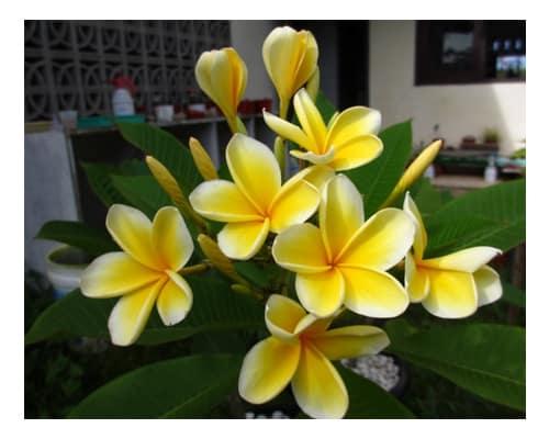 Bibit Bunga Kamboja