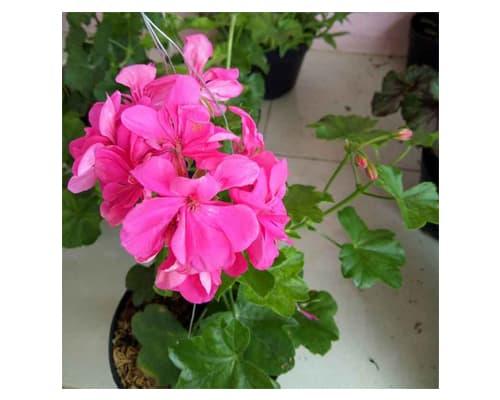 Tanaman Pink Rose Geranium
